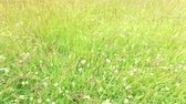 Уайлдфлауэр : clover and grass growing on meadow or field