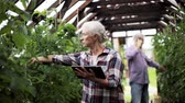 olericulture : old woman with tablet pc in greenhouse on farm