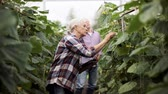 огурцы : old woman with tablet pc in greenhouse on farm