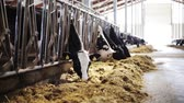 stodola : herd of cows eating hay in cowshed on dairy farm Dostupné videozáznamy