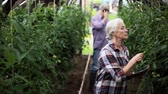 agricultura : old woman with tablet pc in greenhouse on farm