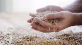 centeio : male farmers hands holding malt or cereal grains