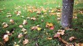 leaf : apples fallen under autumn tree Stock Footage