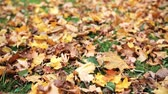 setembro : fallen autumn maple leaves on meadow Stock Footage