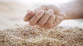 centeio : male farmers hand pouring malt or cereal grains