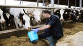 stodola : man feeding cows with hay in cowshed on dairy farm