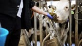 feno : man feeding cows with hay in cowshed on dairy farm