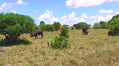 prado : buffalo bulls gazing in savanna at africa