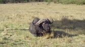 animais selvagens : buffalo bulls gazing in savanna at africa