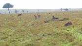 besta : cheetahs and hyena in savanna at africa