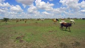 savec : cows gazing in savanna at africa