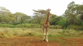 savec : giraffe walking along savanna at africa