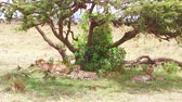 feline : cheetahs lying under tree in savanna at africa Stock Footage