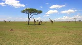 pasto : group of giraffes in savannah at africa