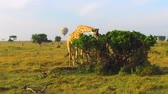 żyrafa : giraffe eating tree leaves in savanna at africa Wideo