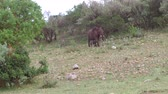 mama : elephant with baby or calf in savanna at africa Wideo
