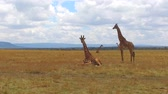 pasto : group of giraffes in savanna at africa