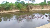 koń : herd of hippos in mara river at africa