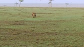 hyaena : hyena carrying carrion in savanna at africa