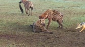 hyaena : hyenas eating carrion and jackals at africa Stock Footage