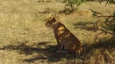 feline : lioness hunting in savanna at africa Stock Footage