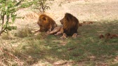 feline : male lions resting in savanna at africa