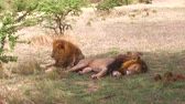 cień : male lions resting in savanna at africa