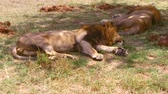 sombra : male lions sleeping in savanna at africa Vídeos