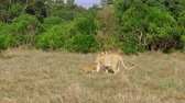 animais selvagens : lioness with cub playing in savanna at africa