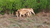 leão : lioness with cub in savanna at africa Vídeos