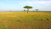 landscape : group of animals and birds in savanna at africa Stock Footage