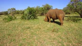 prado : rhino gazing in savanna at africa