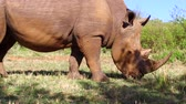 alimentation animale : Rhinocéros contemplant la savane en Afrique