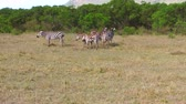 animais : herd of zebras grazing in savanna at africa