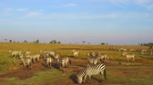 besta : zebras and giraffe grazing in savanna at africa