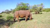 besta : rhino grazing in savanna at africa