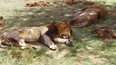 Африка : male lions sleeping in savanna at africa Стоковые видеозаписи