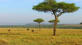 struś : ostriches and acacia trees in savanna at africa