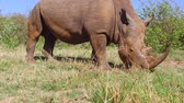savec : rhino grazing in savanna at africa