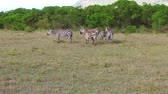 savec : herd of zebras grazing in savanna at africa