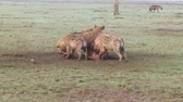 hyaena : clan of hyenas eating carrion in savanna at africa