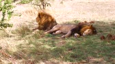 arbusto : male lions resting in savanna at africa
