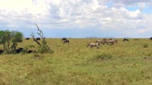 besta : group of herbivore animals in savanna at africa