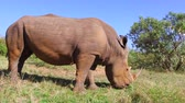 busch : Nashorn weiden in Savanne in Afrika Stock Footage