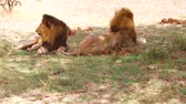 sombra : male lions resting in savanna at africa
