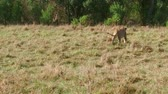 animais selvagens : lions with cub playing in savanna at africa