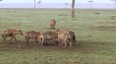 besta : clan of hyenas eating carrion in savanna at africa