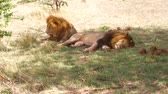 leão : male lions resting in savanna at africa