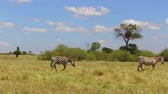 besta : herd of zebras grazing in savanna at africa