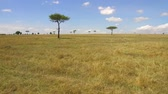 savec : acacia trees in savanna at africa